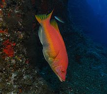 Barred hogfish.jpg