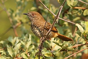 Barred wren-warbler, Calamonastes fasciolatus, at Pilanesberg National Park, Northwest Province, South Africa (16369976054).jpg