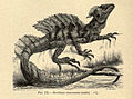 Basiliscus basiliscus-Gadow-Cambridge natural history 8- 530.jpg