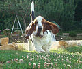 Basset in the wind.jpg