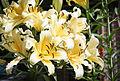 Baumlilie (Lilium) (20451083696).jpg