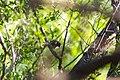 Bay-breasted warbler (47743010441).jpg