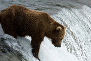 Bear in a river waiting for a Salmon to jump which is their food