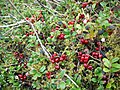 Bearberry (Arctostaphylos uva-ursi) or Cowberry (Vaccinium vitis-idaea) - geograph.org.uk - 1496361.jpg