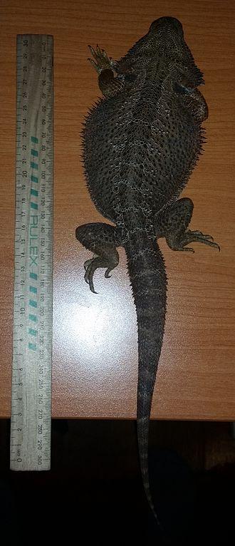 Pogona - Adult measuring over 30 cm (1 ft)
