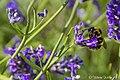 Bee On Lavender (194105163).jpeg