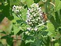 Bee on Catnip Flowers.jpg