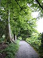 Beeches at Altamont - geograph.org.uk - 444941.jpg
