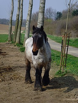 Belgisches Kaltblut