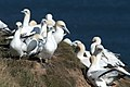 Bempton Cliffs is home to the only mainland breeding colony of Gannets in England. The birds arrive at the colony from January and leave in August and September. (9700056301).jpg