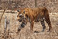 Bengal tiger walking, Karnataka, India (464048079).jpg