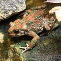 Berber toad (4138700021) (2).jpg