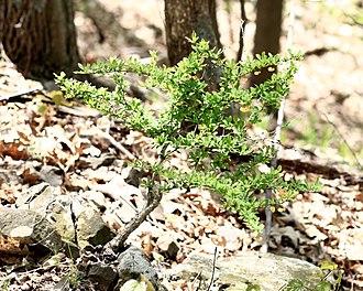 Berberis thunbergii - Image: Berberis thunbergii in Pennwood State Park