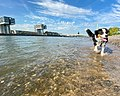 Bernese Mountain Dog swimming in the Rhine in Cologne, Germany (48988371192).jpg