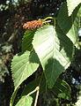 Betula ermanii - Botanical Garden in Kaisaniemi, Helsinki - DSC03472.JPG