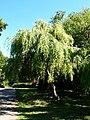 Betula pendula Yongii BG Grishko.jpg