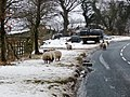 Beware sheep^ - geograph.org.uk - 1728990.jpg