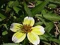 Bidens aurea FlowerCloseup 2009November15 SierraMadrona.jpg