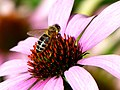 Biene auf Sonnenhut - panoramio.jpg
