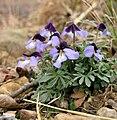 Bird's Foot Violet (Viola pedata).jpg
