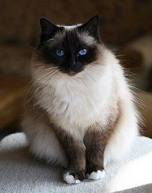 image de chat sacre de birmanie