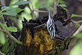 Black-and-white Warbler (29517053011).jpg
