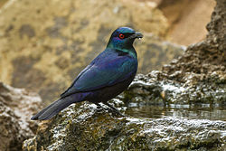 Black-bellied Glossy-Starling - Mkuze - Natal S4E8977 (22775346556).jpg