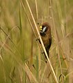 Black-breasted Parrotbill AMSM1485.jpg