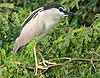 Black-crowned Night Heron (Nycticorax nycticorax) in Hyderabad W IMG 7256