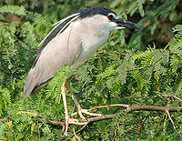 Black-crowned Night Heron (Nycticorax nycticorax) in Hyderabad W IMG 7256.jpg
