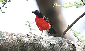 Black-headed Gonolek (Laniarius erythrogaster) (31622677037).jpg
