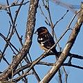 Black-headed Grosbeak (41377781552).jpg