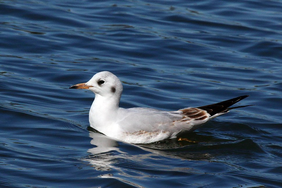 Black-headed gull first winter