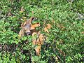 Black-tailed Deer, Odocoileus hemionus columbianus - Flickr - GregTheBusker (1).jpg