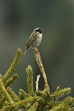Black-throated Accentor - Kazakistan S4E3967 (17037004490).jpg