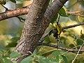 Black-throated Green Warbler (44090216835).jpg