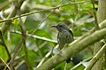Black-throated Sunbird (Aethopyga saturata wrayi) female (8732049440).jpg