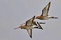 Black -tailed Godwit.jpg