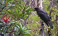 Black Currawong, Cradle Mountain.jpg