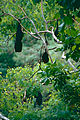 Black Flying-foxes (Pteropus alecto) (9934914246).jpg