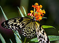 Black and White Butterfly 2 (7974373441).jpg