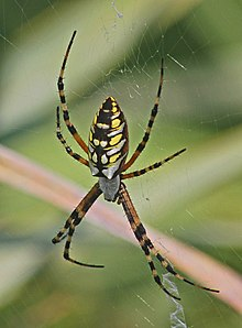 Black and Yellow Argiope - Argiope aurantia - Merritt Island National Wildlife Refuge, Florida.jpg