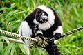 Black and white Ruffed Lemur (22936323726).jpg