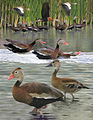 Black bellied whistling duck From The Crossley ID Guide Eastern Birds.jpg