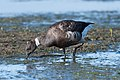 Black brant, bunche beach FL Dec., out of range (31902278386).jpg