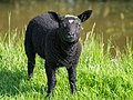Black lamb.jpg