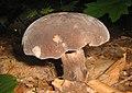 Black mushroom (2744766647).jpg