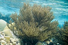 Black sea rod Plexaura homomalla (4675579531).jpg