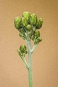 Bloemknoppen van gevlekt havikskruid (Hieracium maculatum) 06-06-2021. (d.j.b).jpg