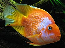 Blood parrot cichlid - Wikipedia